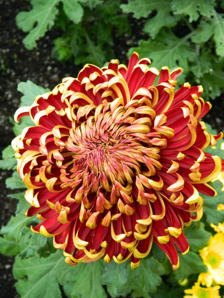 Allan Gardens Conservatory 2014 Fall Chrysanthemum Show red mum by garden muses-not another Toronto gardening blog