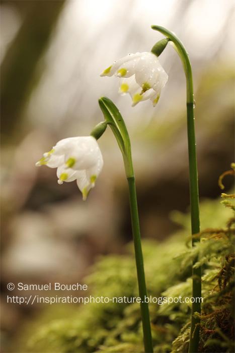macrophotographie des nivéoles de printemps