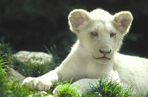 Exceptionnel Le lion : toutes les vérités sur le roi des animaux ~ Nature extrême HF92