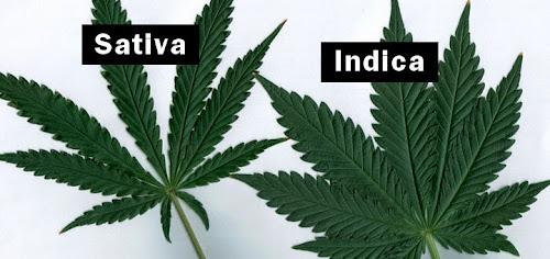 Origens da crescente cannabis sativa e de indica