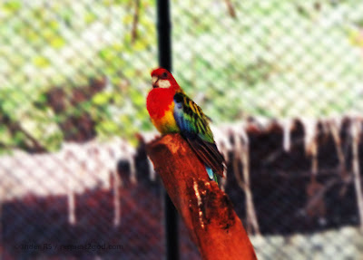 birds, eastern rosella parrot also known as rosella multicolor