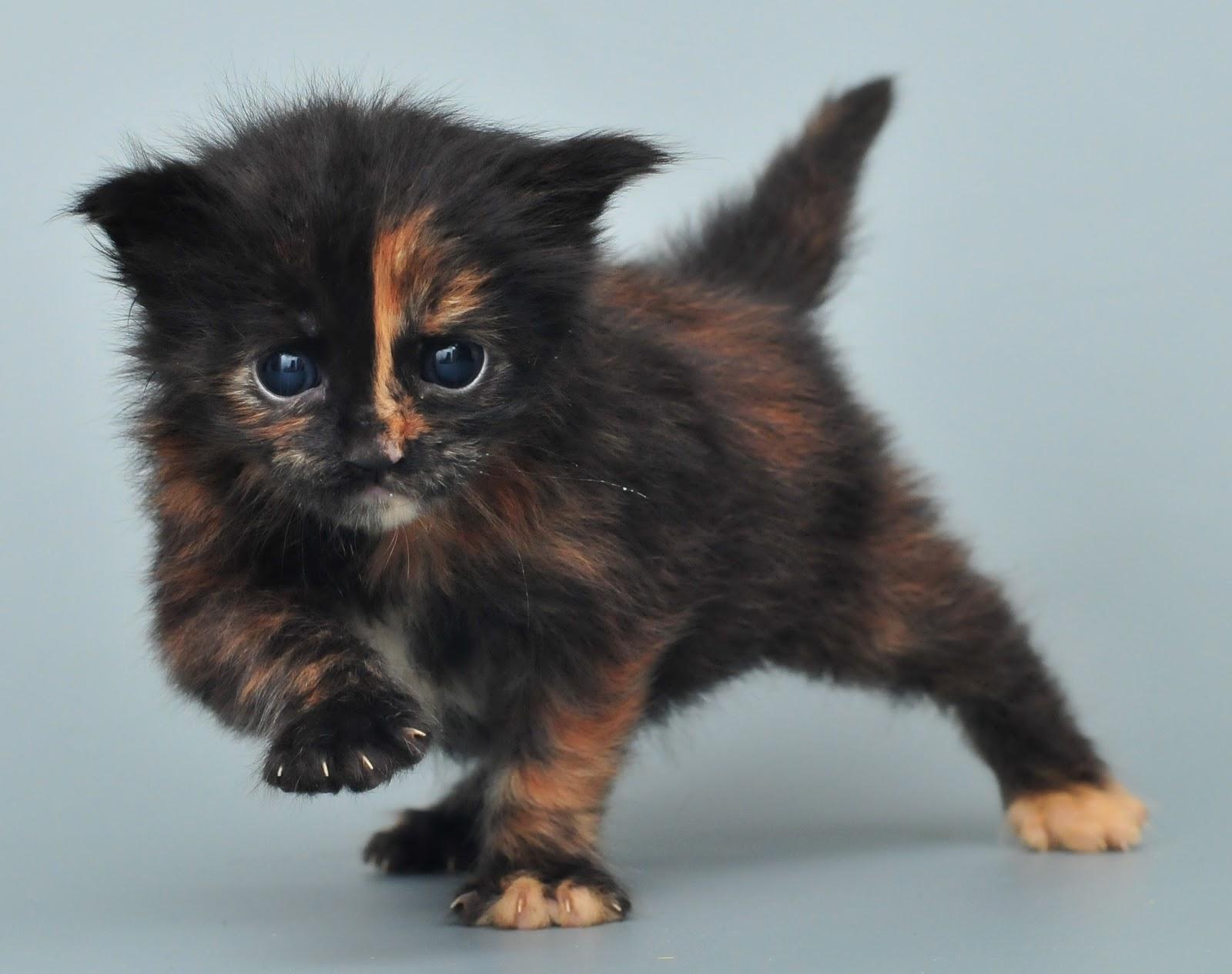Мейн кун кошки в питомнике lynx place мейн