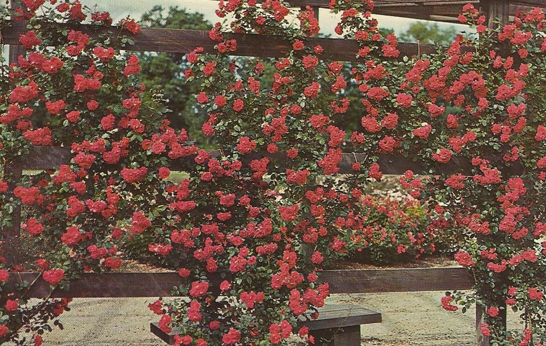 Vintage travel postcards park of roses columbus ohio for The gardens of the american rose center