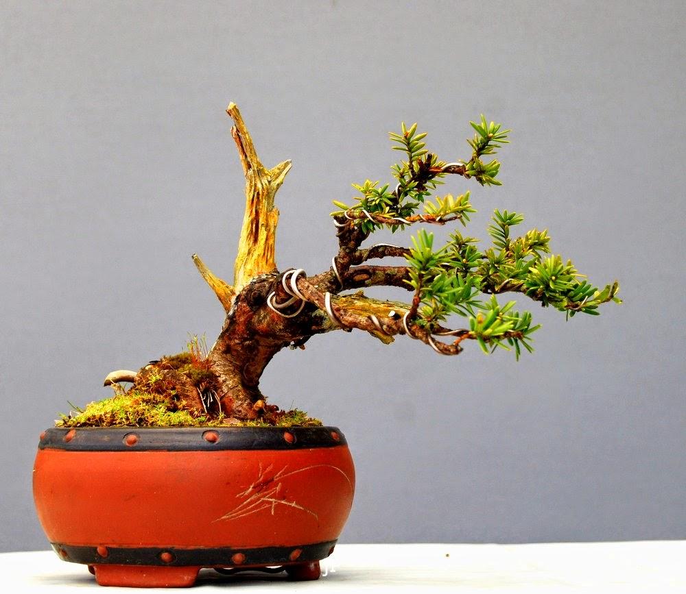 jupp s bonsai blog keiner wollte sie. Black Bedroom Furniture Sets. Home Design Ideas