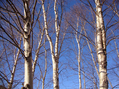 blue skies .. birch trees ..