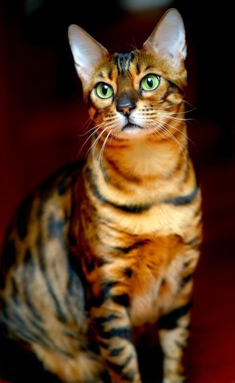 Top 5 Most Expensive Cat Breeds
