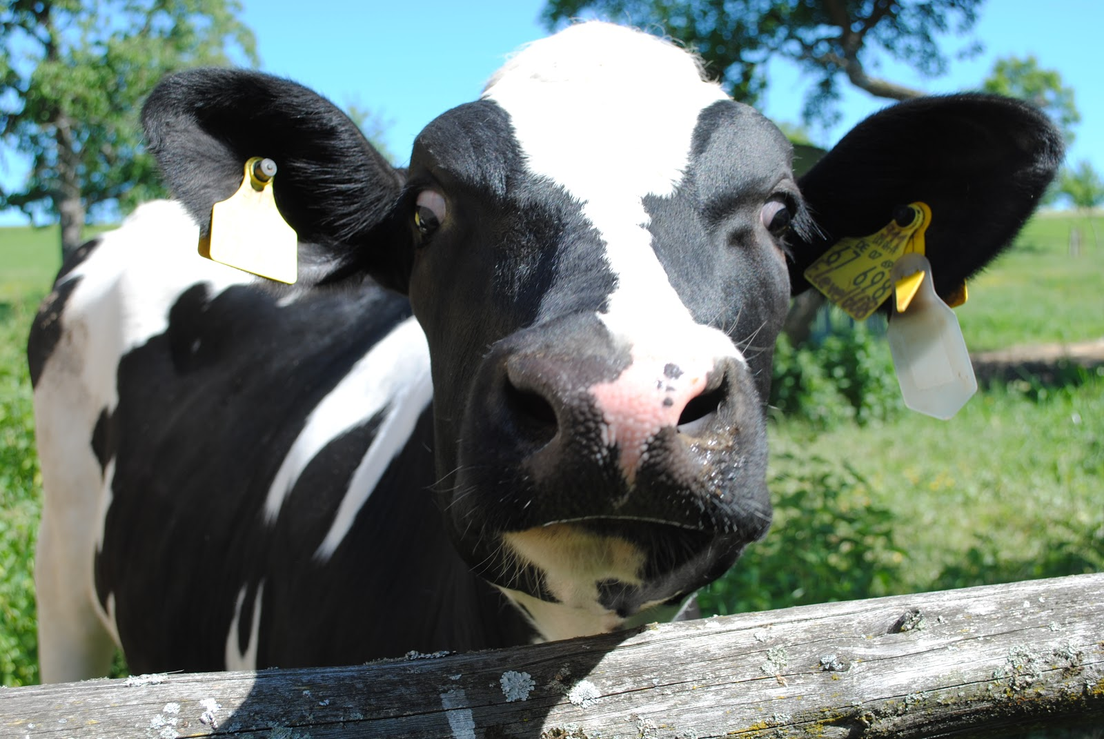 Funny Pictures Of Cows Discover Mass of Funny...