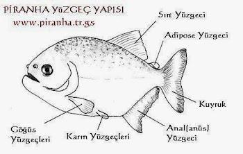 Piranha anatomisi