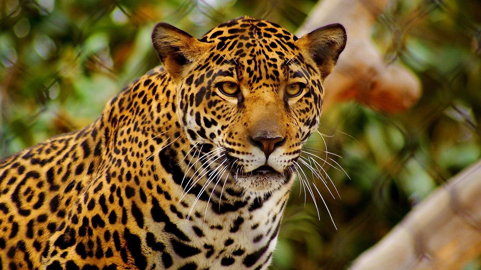 imagenes de jaguares animales - Piden investigar fotos de la cacería de un jaguar