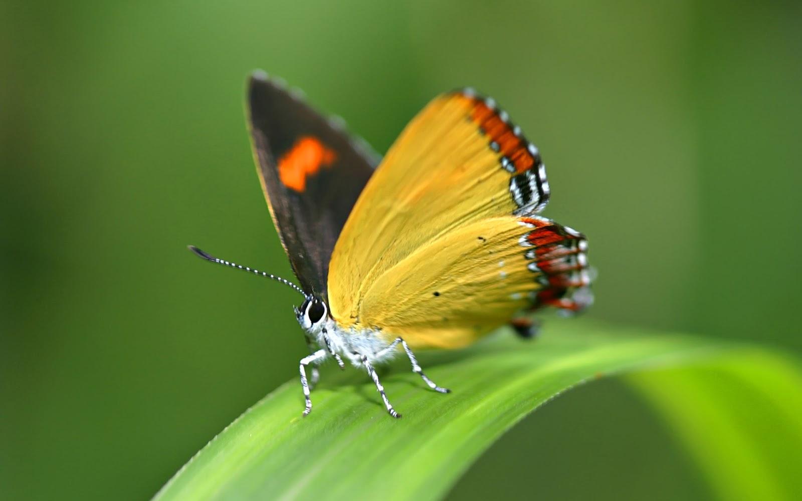 beautiful butterfly hd desktop - photo #4
