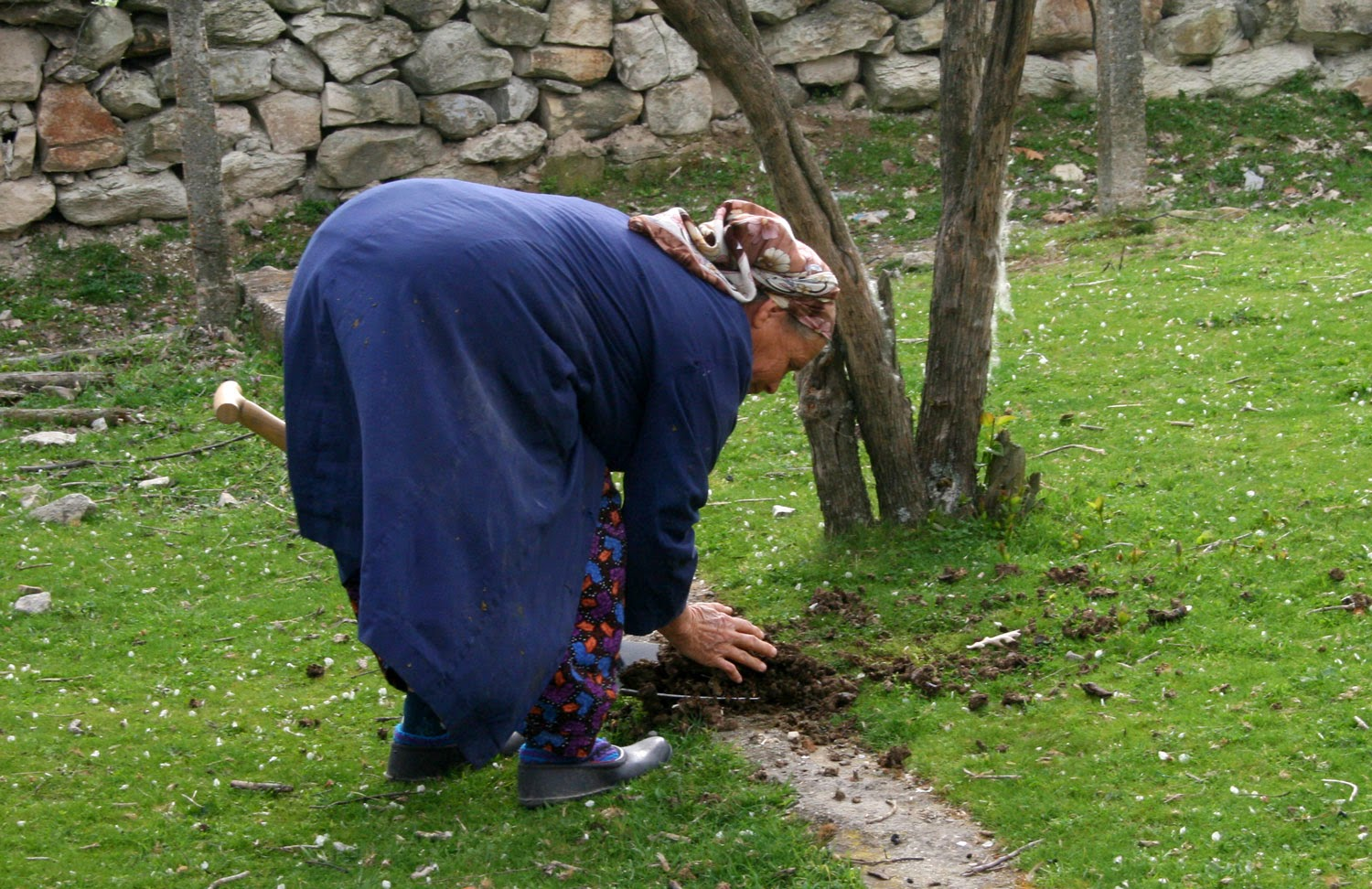 My little neighbour collecting cow poo for me