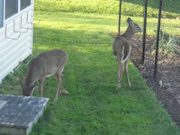 image photo two deer inspecting garden from behind deer fencing