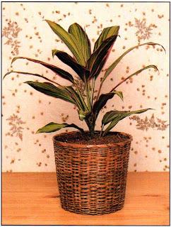 Кордилина верхушечная (Cordiline terminalis, она же Dracaena terminalis) имеет множество разновидностей, различающихся по рисунку и окраске.