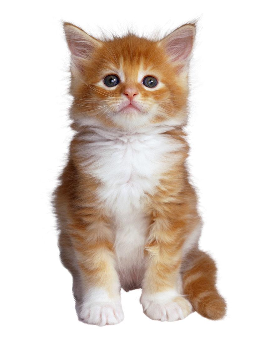 Autoguau etapas de desarrollo del gato for Red transparente para gatos