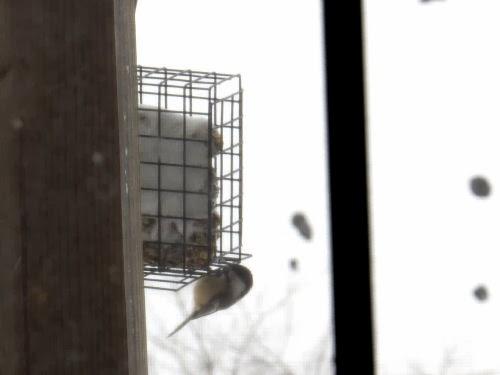 chickadee at bird feeder