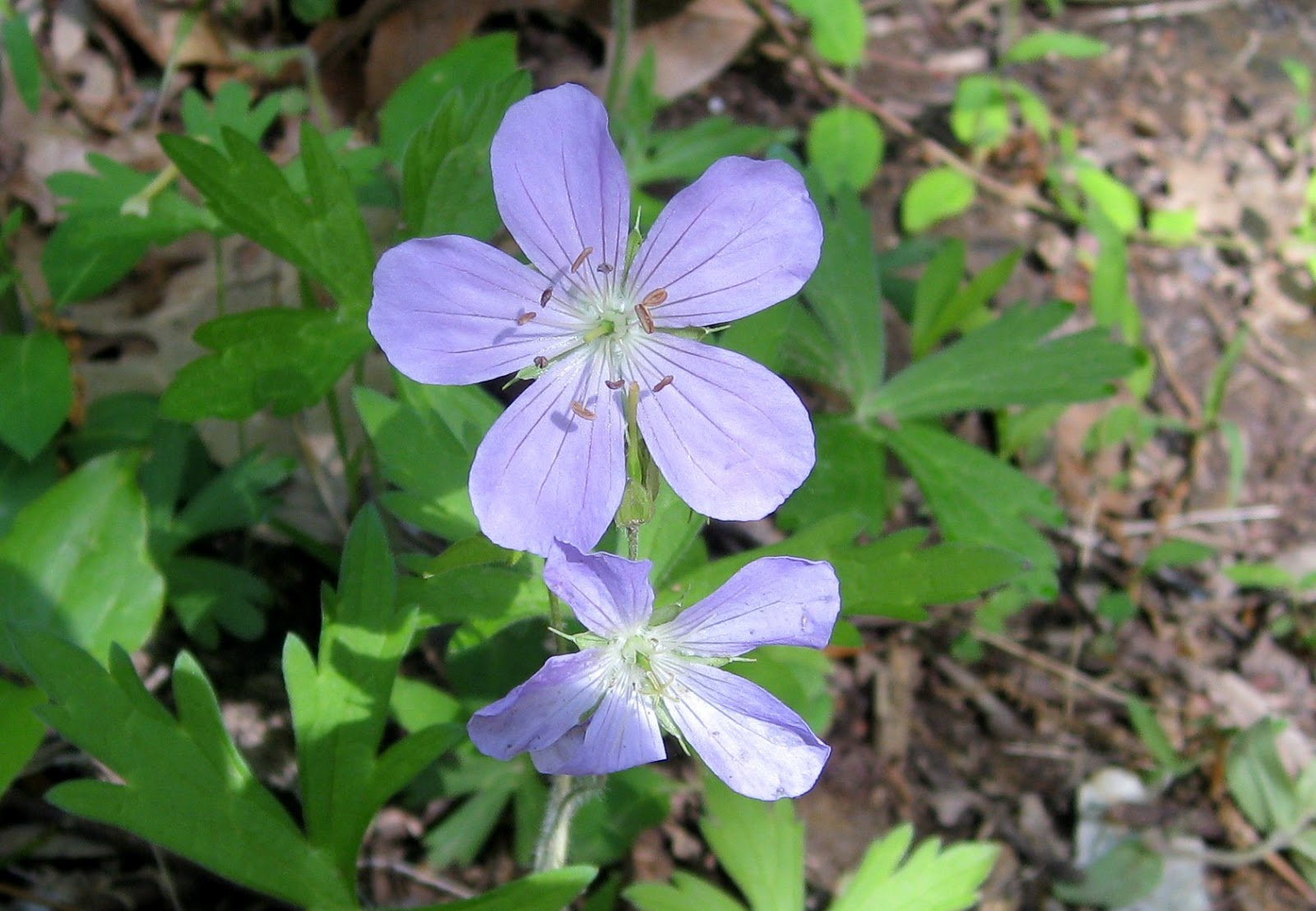Image of wild geranium by K. R. Smith - may be used with attribution