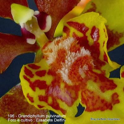 Oncidium pulvinatum,Oncidium sciurus Scheidw., Oncidium pulvinatum var. grandiflorum Regel, Oncidium pulvinatum var. majus Williams, Oncidium pulvinatum var. cupreum Stein, Oncidium pulvinatum var. minarum Hoehne & Schltr,Aurinocidium pulvinatum (Lindl.) Romowicz & Szlach.,.