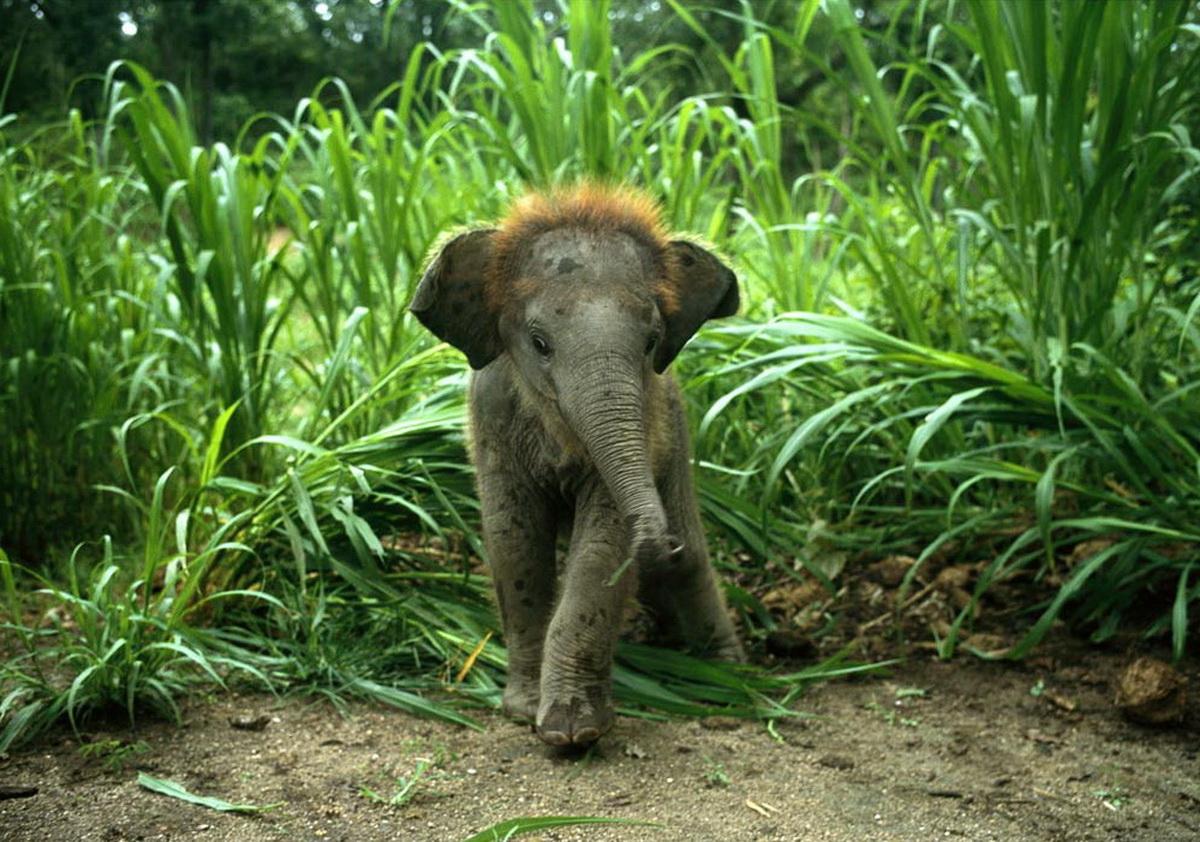 Indian Elephant | Anim...