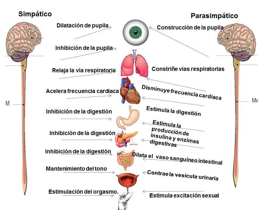 Fisiología del Sebas: Funciones del sistema nervioso simpático y ...