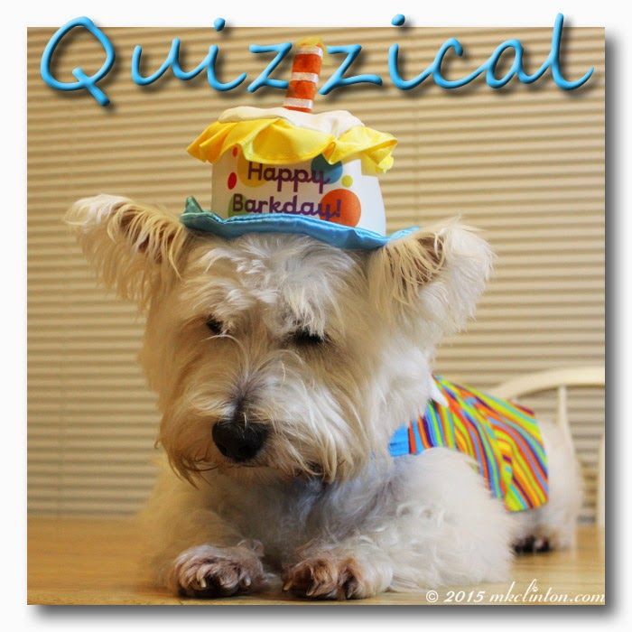 Westie in colorful birthday costume