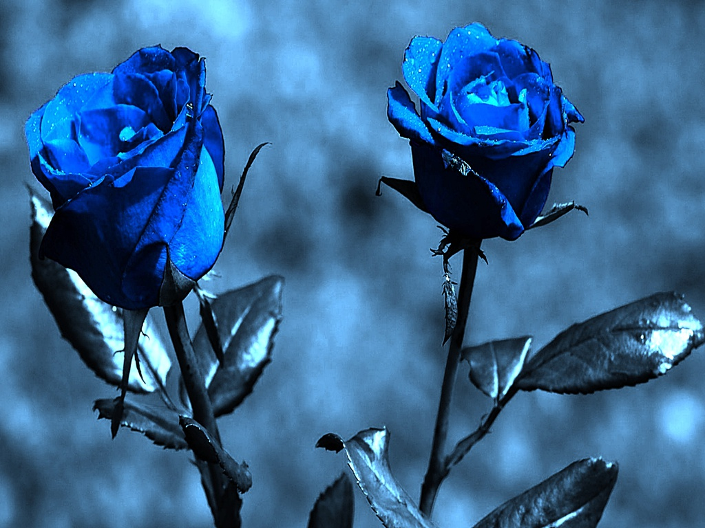 Blue Roses Wallpaper Hd Tumblr For Walls Mobile Phone Widescreen Desktop Full Size Download 2013
