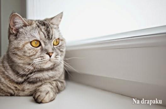 Dlaczego kot mruczy?