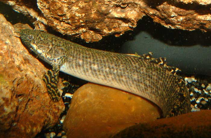 Fish Pictures: Ornate bichir - Polypterus ornatipinnis
