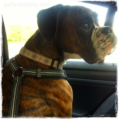 Boxer Amy unterwegs