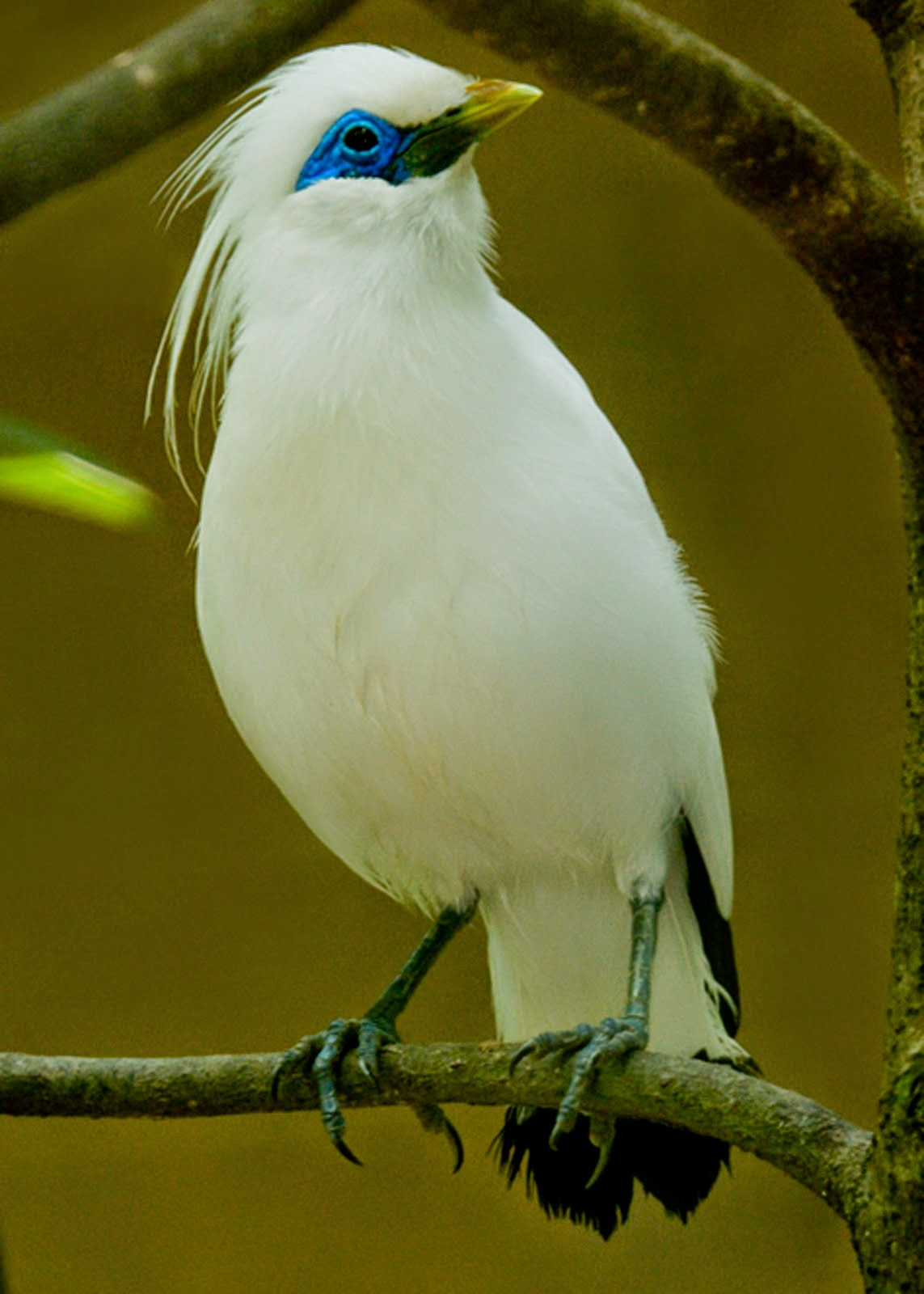 Greek 5 Burung Kicau Termahal Di Indonesia