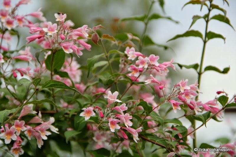 Paradisbuske Kolkwitzia amabilis