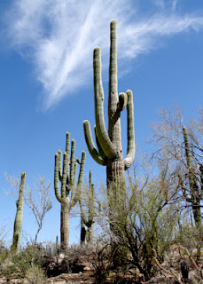 A stand of giant saguaros at Saguaro National Park - West. It can take more than one hundred and fifty years for saguaro cacti to grow this tall. It takes fifty years for them just to bloom and fruit, then another twenty-five years after that before their first arms appear. Amazing!