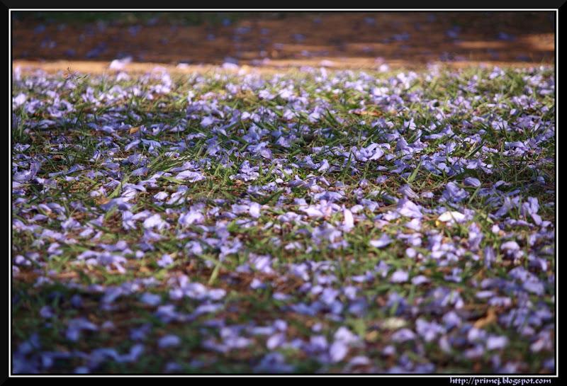 Fallen Jacaranda Flowers