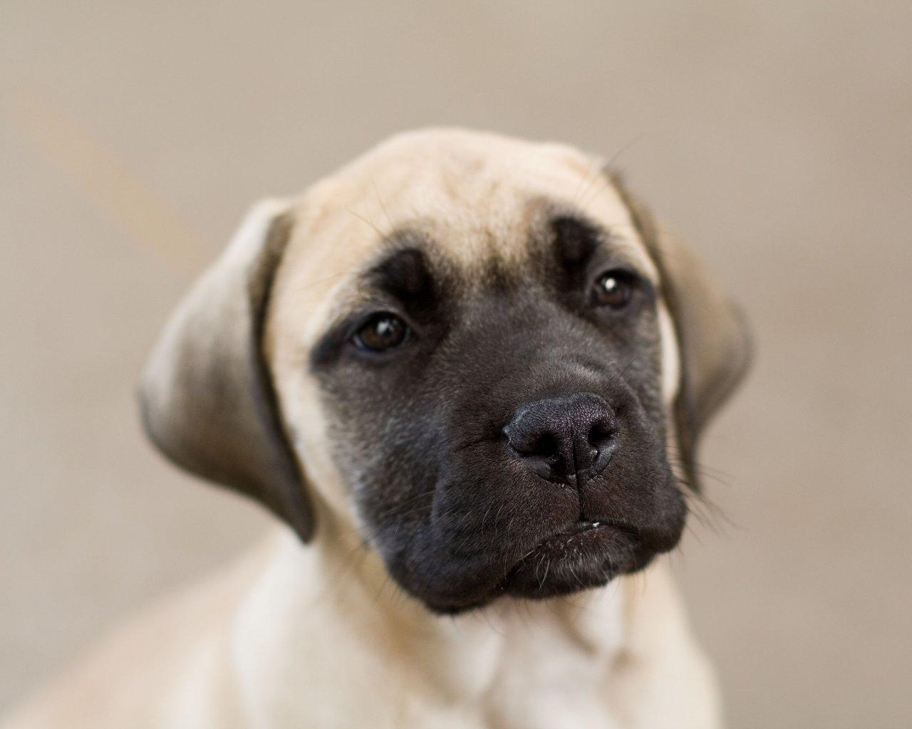 Excitement N Net: Gigantic Dogs - English Mastiff