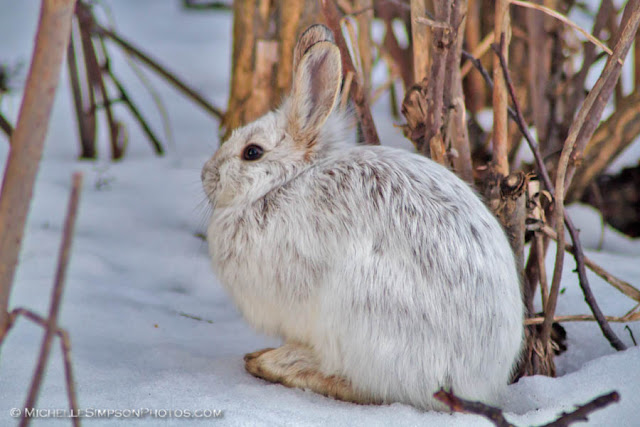 Snowy visitor - snowshoe hare in Homer, Alaska