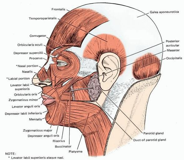 Note on Muscles of the Face and Scalp     With A VideoTriangularis Muscle