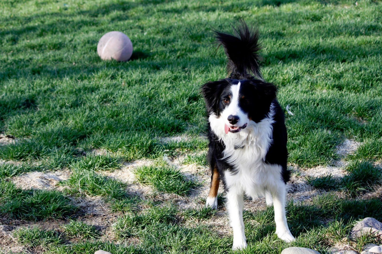 border collie playing jr s world at large