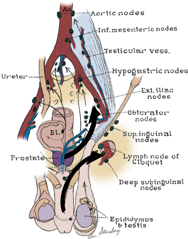 Pelvic lymph nodes anatomy