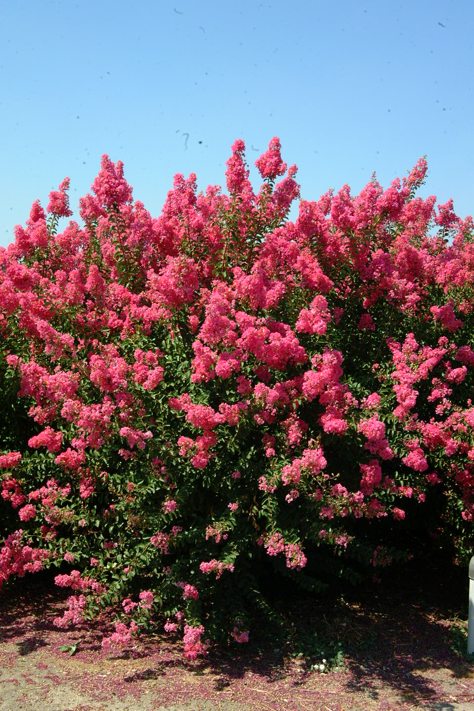 1000 images about crape myrtle on pinterest trees and shrubs trees and red flowers. Black Bedroom Furniture Sets. Home Design Ideas