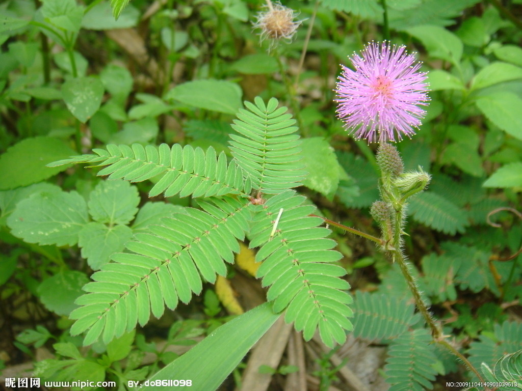 Mimosa Pudica - I'd be sensitive too, if that was my name