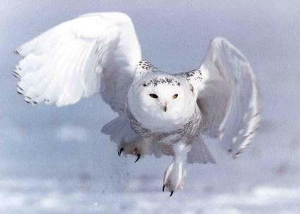 Azlo das neves. Snowy+Owl