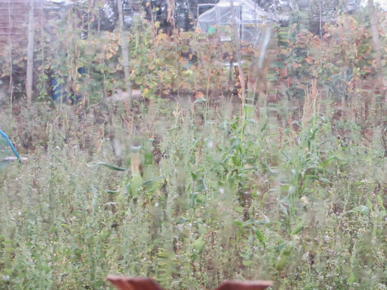 a VERY weedy allotment