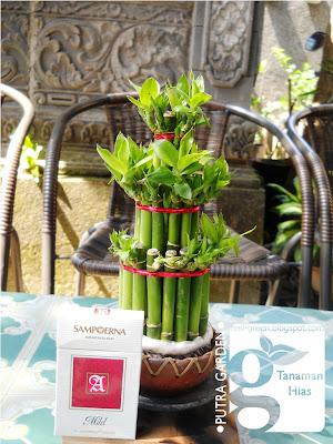 tanaman hias bambu rejeki mini unik | tanaman hias dan