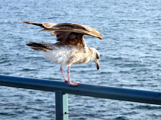 Seagull on the Pier, LA - Los Angeles, California - travel blogger