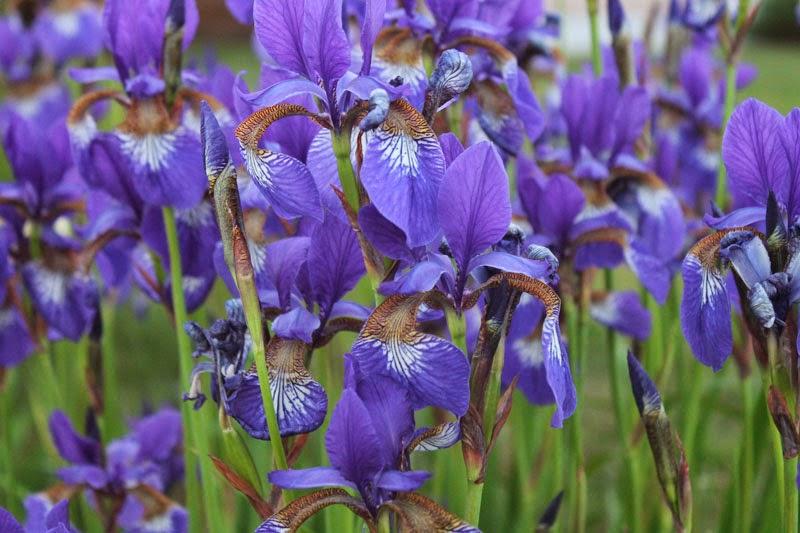 Strandiris, Iris sibirica