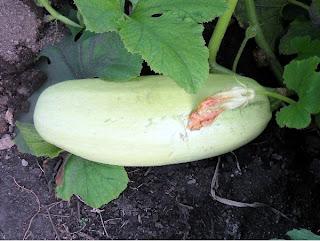 17 сентября, плод кабачка