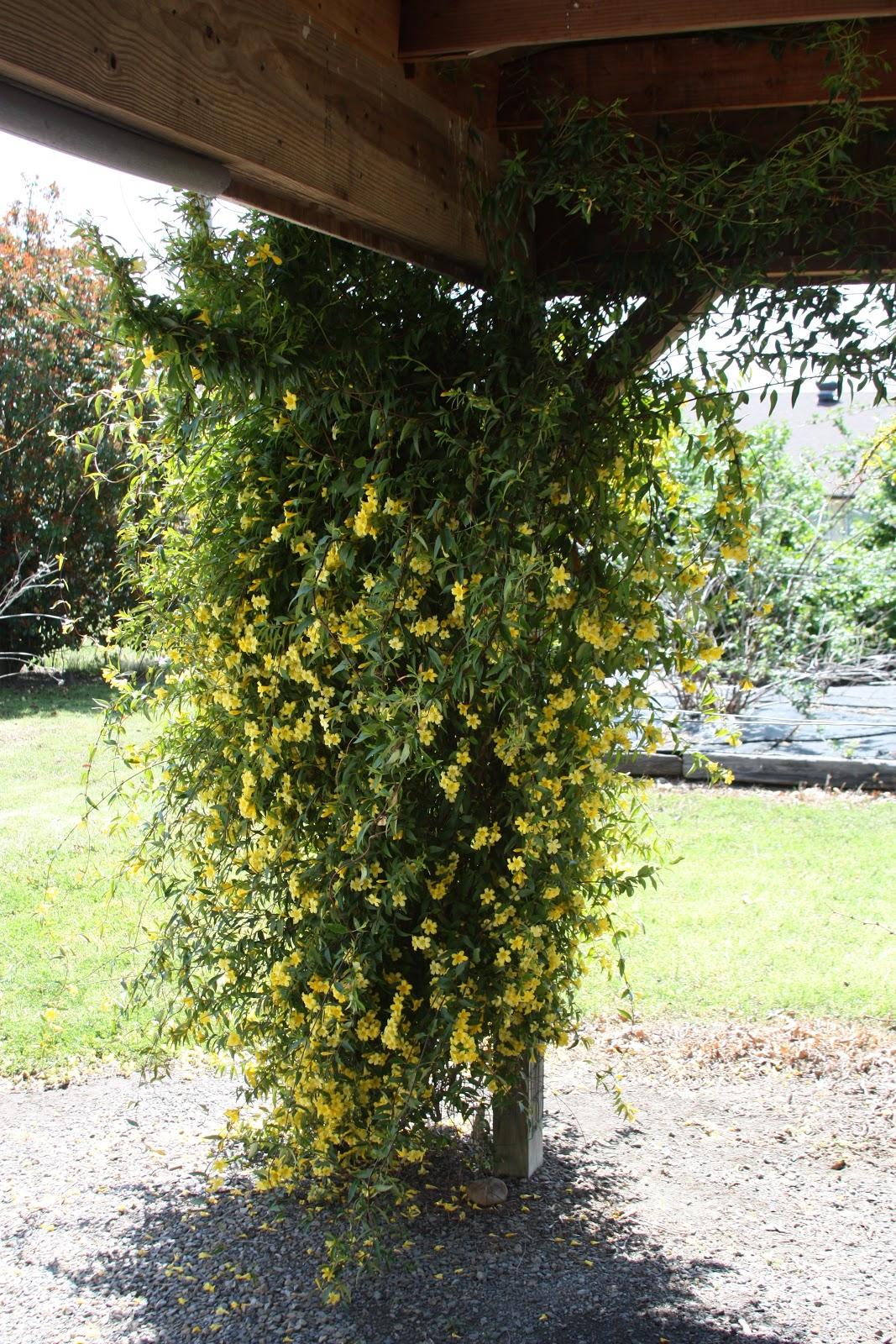 all the dirt on gardening carolina jasmine is gelsemium sempervirens, Beautiful flower