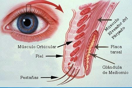 OBJETIVO - 3 ANEXOS OCULARES | Clínica Optométrica 1 (IUO)
