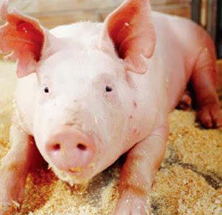 7 coisas que você não sabia sobre o porco