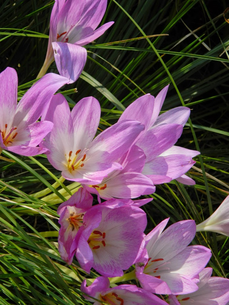 colchicum autumnale Autumn crocus at Toronto Botanical Garden by garden muses-not another Toronto gardening blog