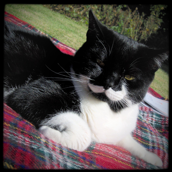 Caffrey black and white cat